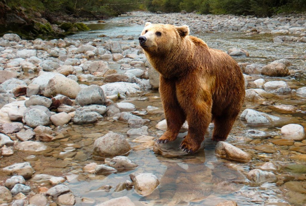bear, predator, brown bear
